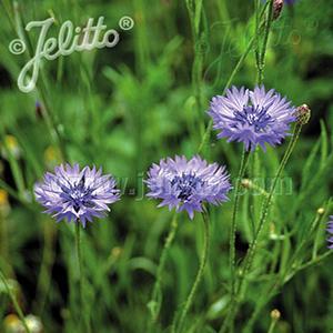 Bachelors Button Blue    - Centaurea montana -  lg pot